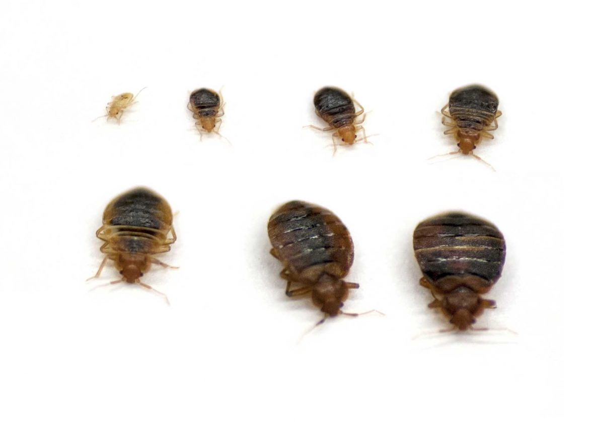 Bed Bugs Heat Treatment Dallas